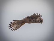 3rd Nov 2020 - Female Kestrel.