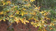 4th Nov 2020 - Mockernut Hickory or Carya tomentosa...