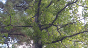 4th Nov 2020 - Sweet gum tree...