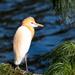 Juvenile Cattle Egret  by sugarmuser