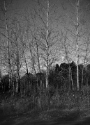 3rd Nov 2020 - birch trees and moonset