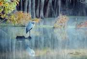 4th Nov 2020 - Heron at Caddo Lake