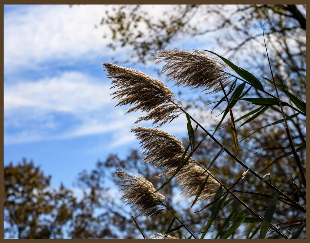 Ornamental Grass by hjbenson