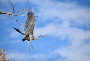 4th Nov 2020 - Great Blue Heron Take Off.