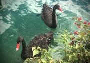 3rd Nov 2020 - Two Black Swans