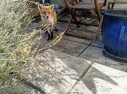 4th Nov 2020 - Shadow of a fox