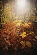 4th Nov 2020 - 2020-11-04 rustling through the beech grove
