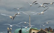 4th Nov 2020 - Gulls
