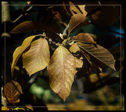 4th Nov 2020 - Fall Magnolia