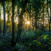 Forest Sunset... by vignouse