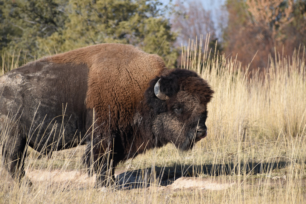 Bison Bull by bjywamer