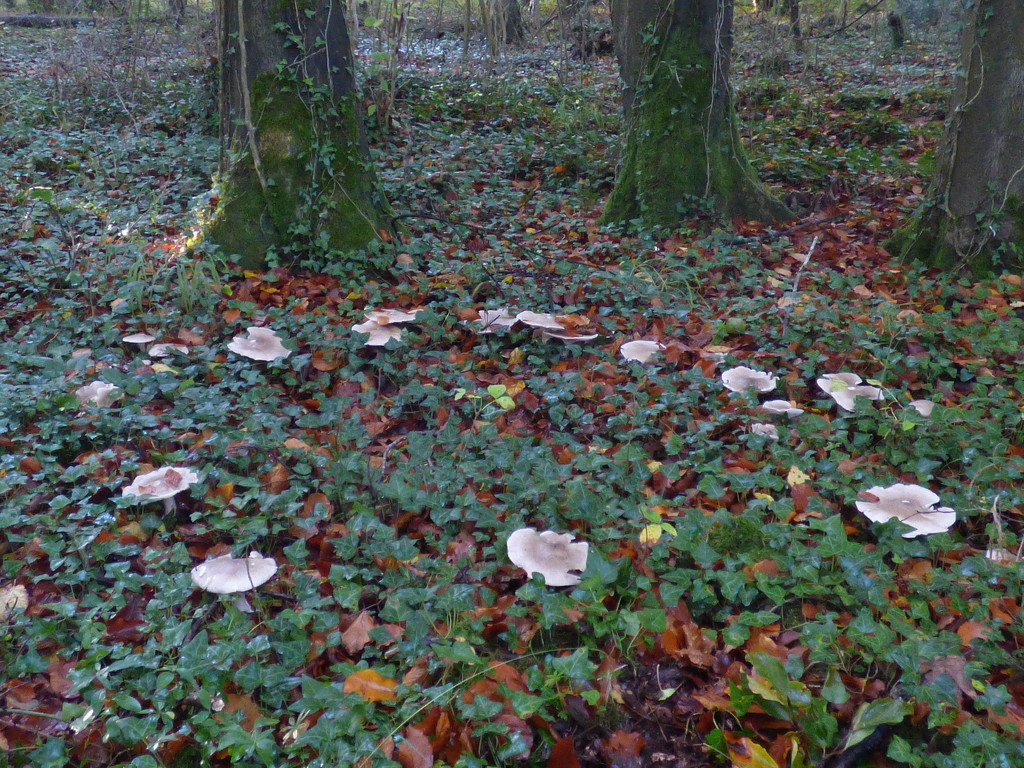 Fairy ring by julienne1
