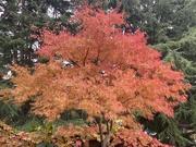31st Oct 2020 - Seriyu Japanese Maple