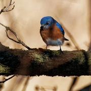 4th Nov 2020 - eastern bluebird