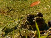 4th Nov 2020 - November frog
