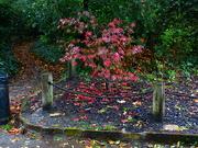 4th Nov 2020 - Autumn Red