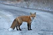 5th Nov 2020 - Mr. Fox