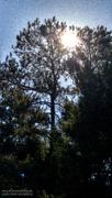 5th Nov 2020 - Carolina pines and sunshine...