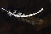 4th Nov 2020 - Feather Floating By