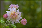24th Oct 2020 - Chrysanthemum