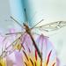 Crane Fly by yorkshirekiwi