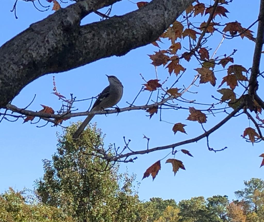 Mockingbird in autumn by homeschoolmom