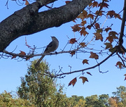 4th Nov 2020 - Mockingbird in autumn