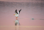 2nd Nov 2020 - Pelican at Dusk