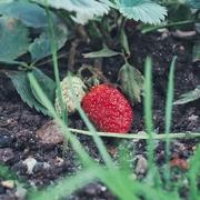5th Nov 2020 - Strawberries