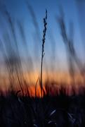 2nd Nov 2020 - sunset grasses