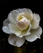 5th Nov 2020 - Raindrops on Roses