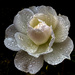 Raindrops on Roses by thistle01