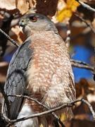 5th Nov 2020 - Hawk Hiding in a Tree