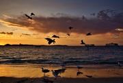 5th Nov 2020 - Seagulls At Sunset DSC_2909