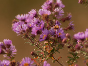 5th Nov 2020 - New England asters
