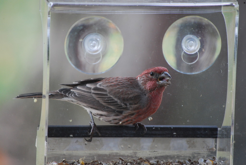House finch visits for breakfast by stillmoments33