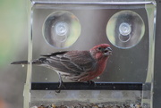 5th Nov 2020 - House finch visits for breakfast
