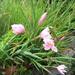 hesperanthus