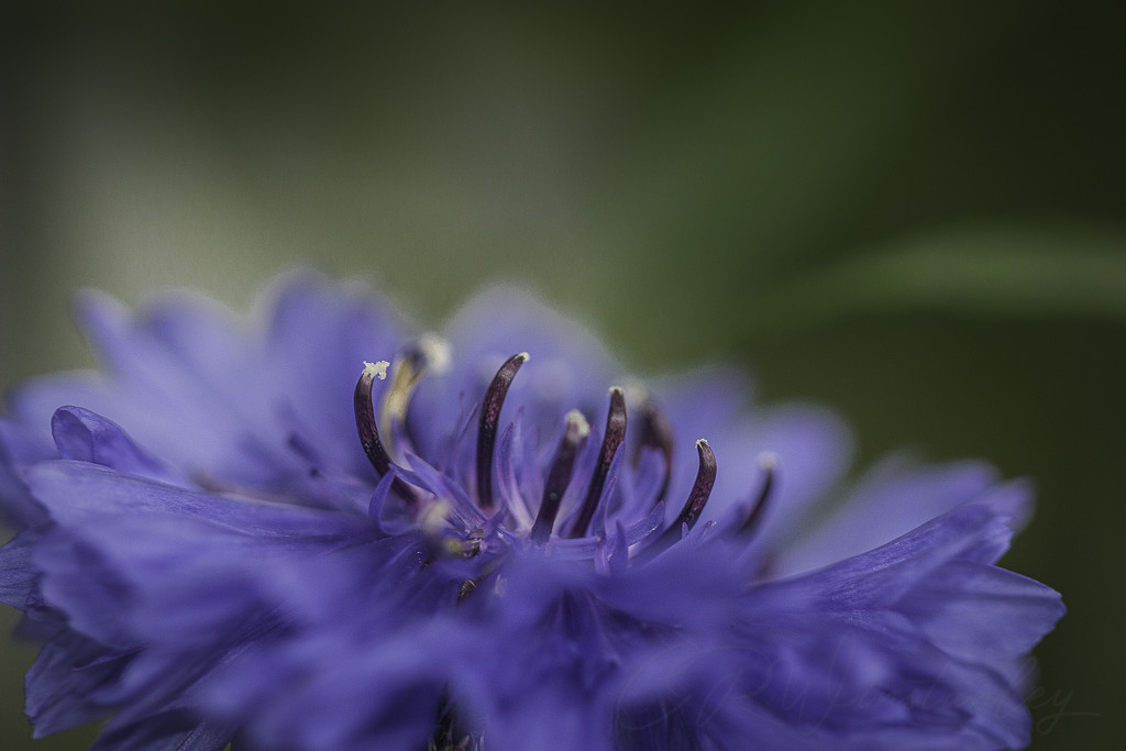 Cornflower  by kipper1951