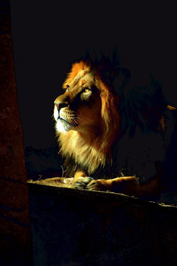 Shining Lion by randy23