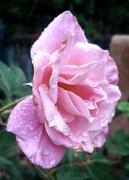 6th Nov 2020 - Rose in the Rain