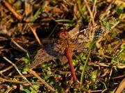 6th Nov 2020 - Autumn meadowhawk Dragonfly