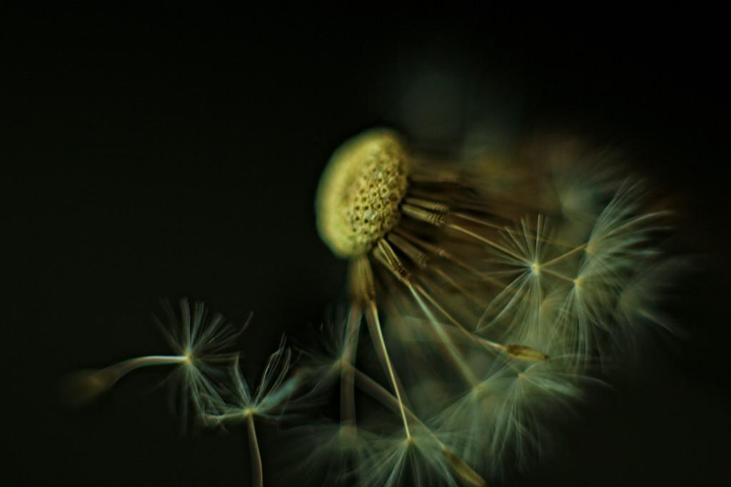 Old Dandelion. by rustymonkey