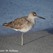 Willet on the Beach by falcon11