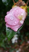 7th Nov 2020 - Wet camellia bud...