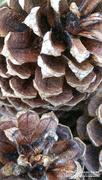 7th Nov 2020 - Painted pine cones...