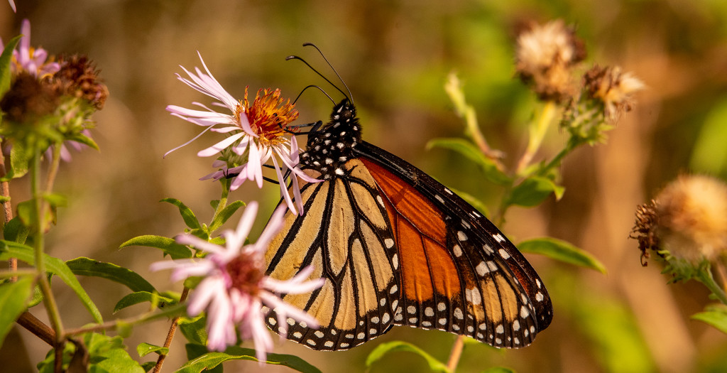 One More Monarch Butterfly! by rickster549