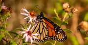 6th Nov 2020 - One More Monarch Butterfly!