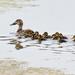 A dozen ducklings - and mum! by maureenpp