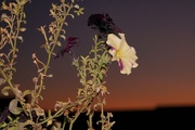 22nd Oct 2020 - petunia: backlit with flash at sunset